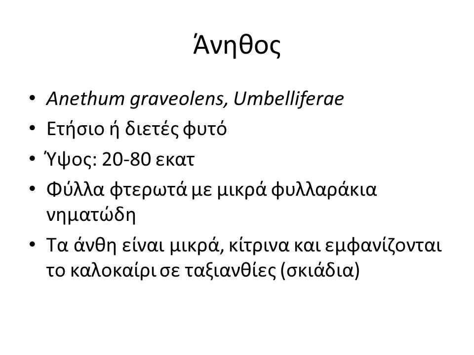 Άνηθος Anethum graveolens, Umbelliferae Ετήσιο ή διετές φυτό
