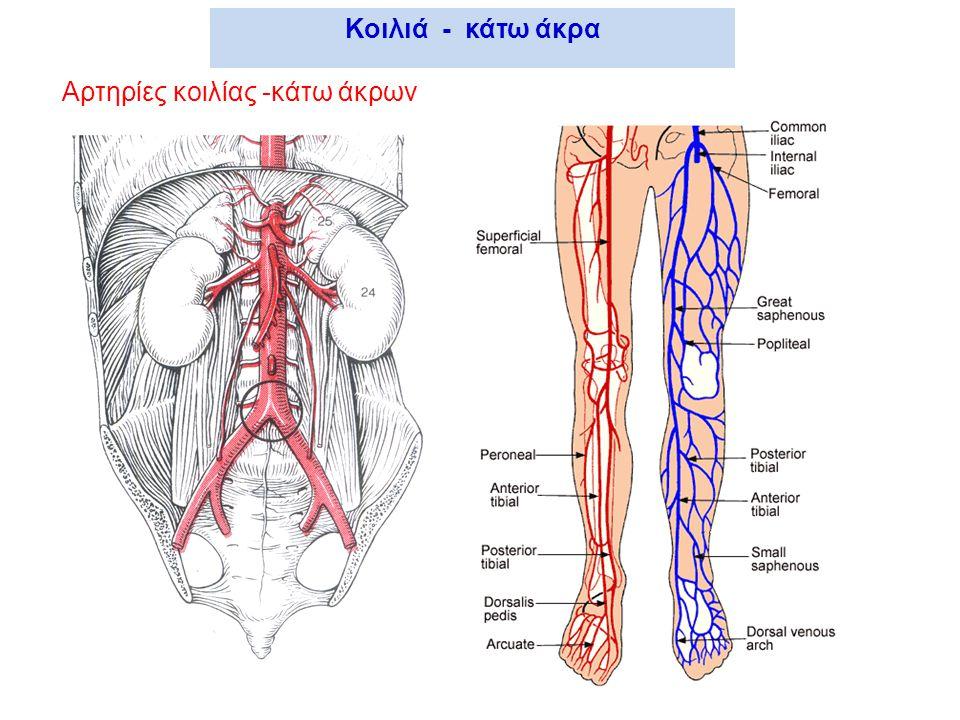 Κοιλιά - κάτω άκρα Αρτηρίες κοιλίας -κάτω άκρων