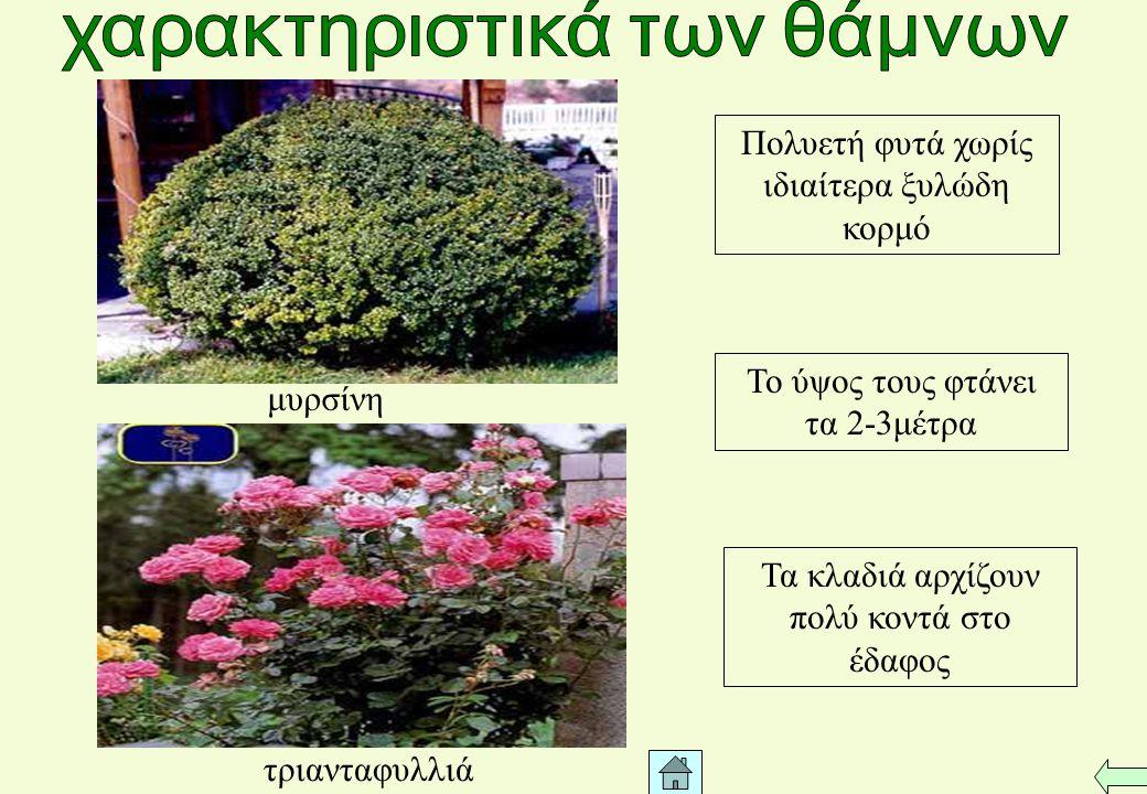 Πολυετή φυτά χωρίς ιδιαίτερα ξυλώδη κορμό