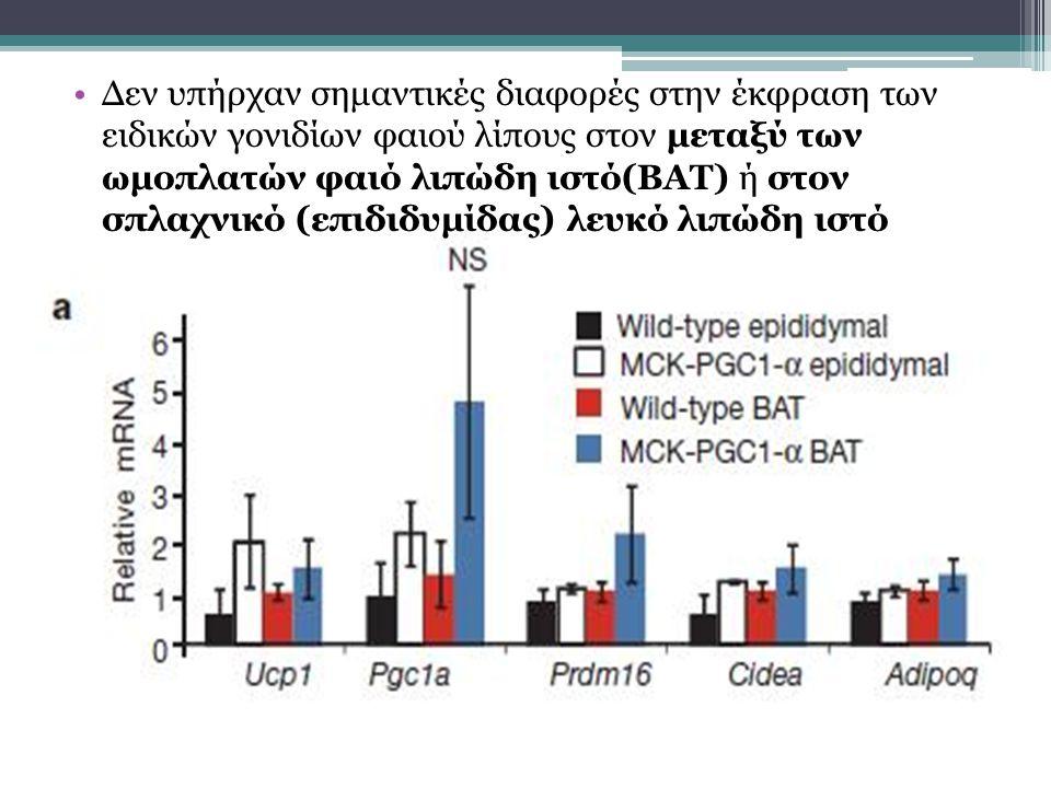 Δεν υπήρχαν σημαντικές διαφορές στην έκφραση των ειδικών γονιδίων φαιού λίπους στον μεταξύ των ωμοπλατών φαιό λιπώδη ιστό(ΒΑΤ) ή στον σπλαχνικό (επιδιδυμίδας) λευκό λιπώδη ιστό