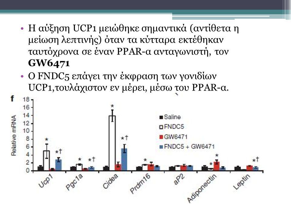 Η αύξηση UCP1 μειώθηκε σημαντικά (αντίθετα η μείωση λεπτινής) όταν τα κύτταρα εκτέθηκαν ταυτόχρονα σε έναν PPAR-α ανταγωνιστή, τον GW6471