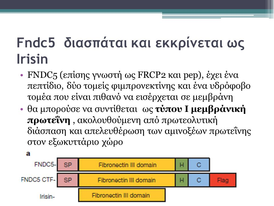 Fndc5 διασπάται και εκκρίνεται ως Irisin