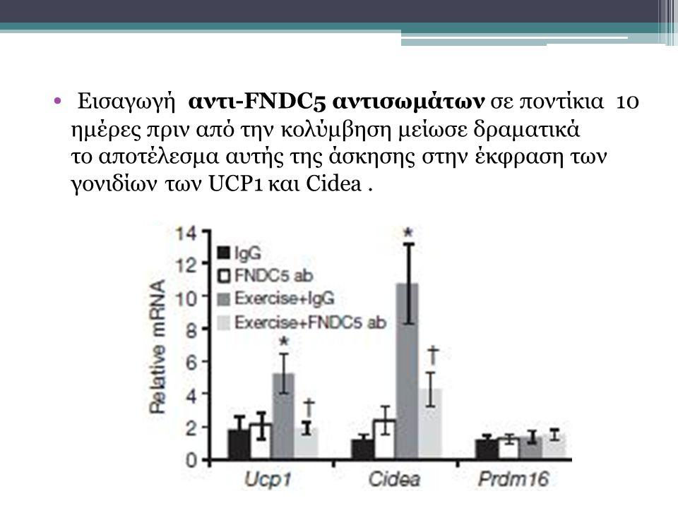 Εισαγωγή αντι-FNDC5 αντισωμάτων σε ποντίκια 10 ημέρες πριν από την κολύμβηση μείωσε δραματικά το αποτέλεσμα αυτής της άσκησης στην έκφραση των γονιδίων των UCP1 και Cidea .