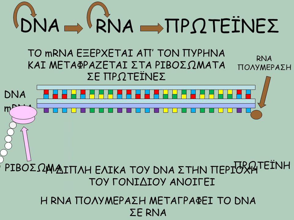 DNA RNA. ΠΡΩΤΕΪΝΕΣ. ΤΟ mRNA ΕΞΕΡΧΕΤΑΙ ΑΠ' ΤΟΝ ΠΥΡΗΝΑ ΚΑΙ ΜΕΤΑΦΡΑΖΕΤΑΙ ΣΤΑ ΡΙΒΟΣΩΜΑΤΑ ΣΕ ΠΡΩΤΕΪΝΕΣ.