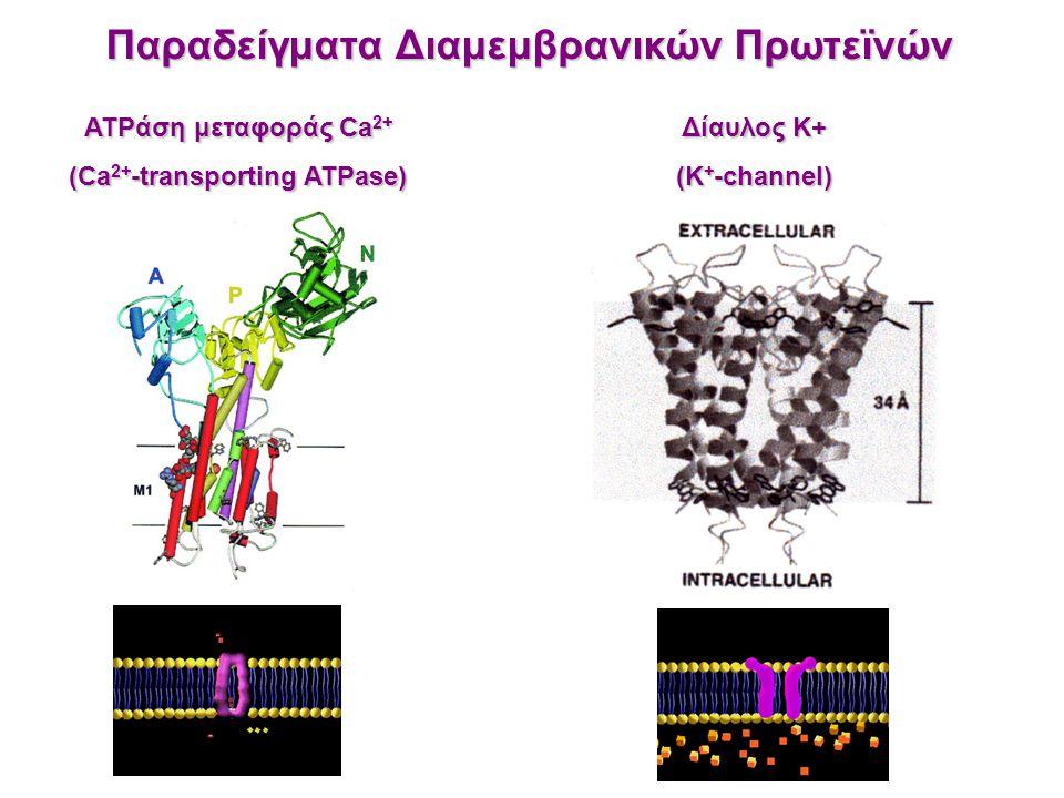 Παραδείγματα Διαμεμβρανικών Πρωτεϊνών (Ca2+-transporting ATPase)