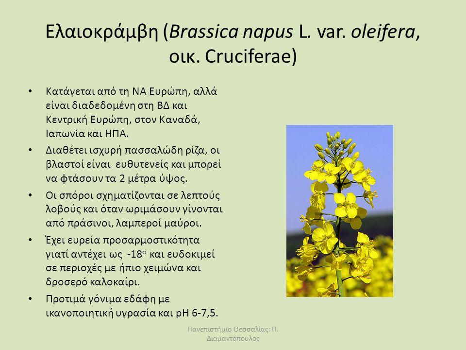 Ελαιοκράμβη (Βrassica napus L. var. oleifera, οικ. Cruciferae)