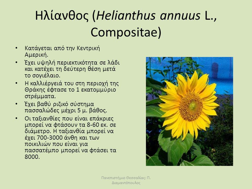 Ηλίανθος (Helianthus annuus L., Compositae)