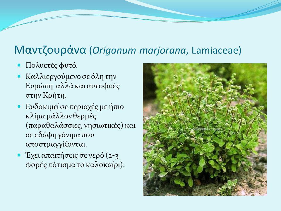 Μαντζουράνα (Origanum marjorana, Lamiaceae)