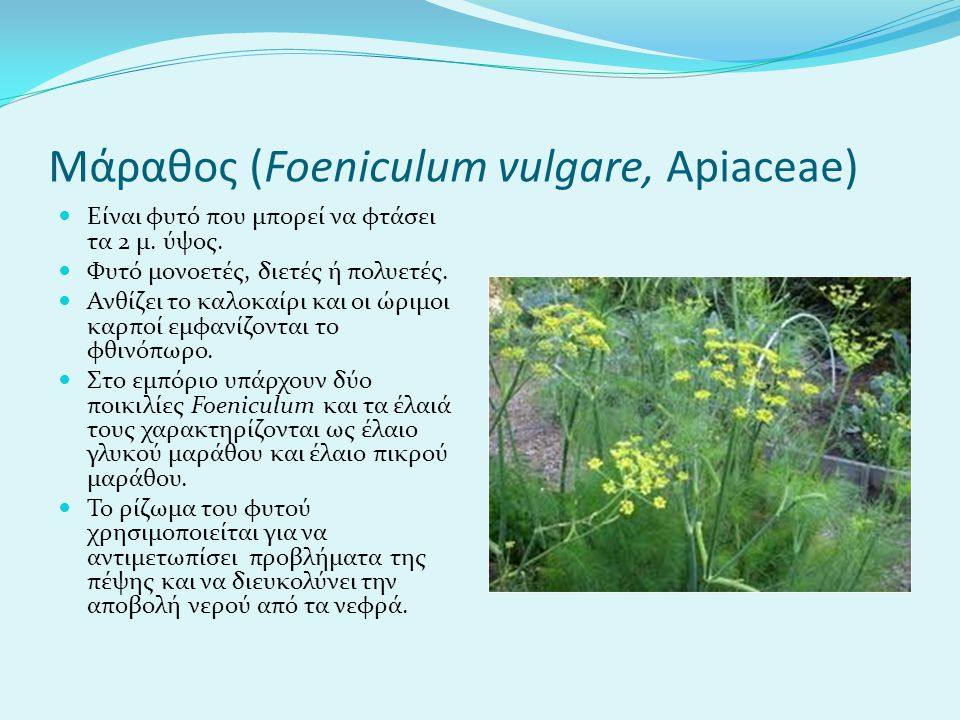 Μάραθος (Foeniculum vulgare, Apiaceae)