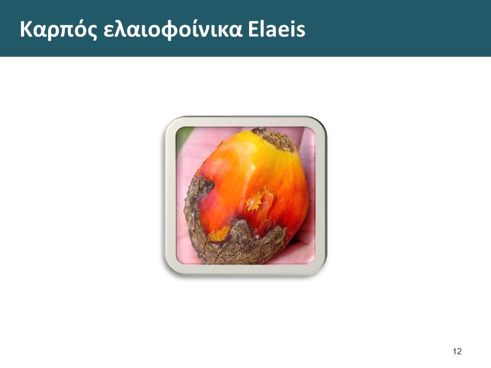Ελαιοφοίνικας Elaeis guineensis