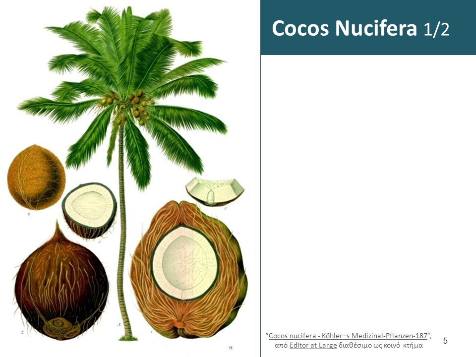 Cocos Nucifera 2/2