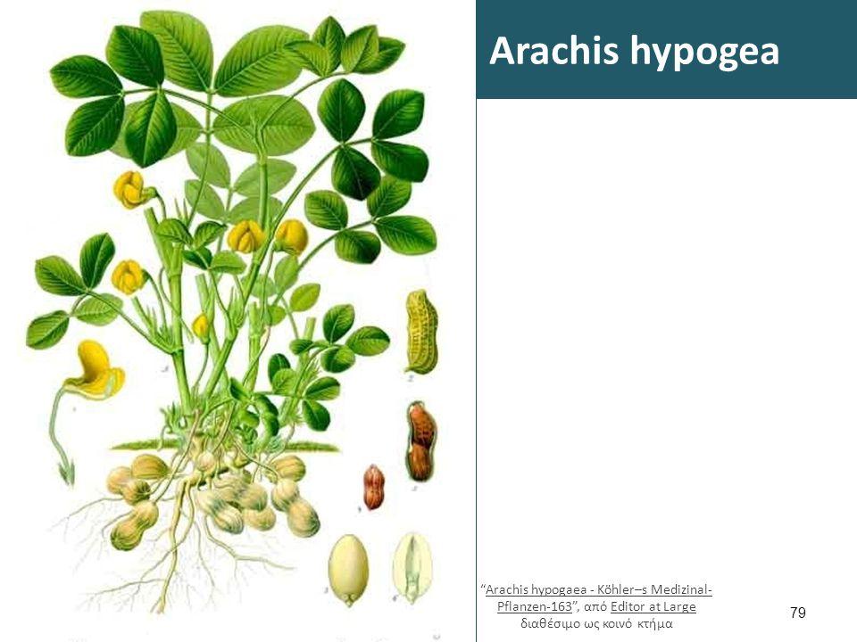 Αραχίδα 1/2 Στην Ελλάδα η αραχίδα καλλιεργείται σε ποτιστικά, αμμοαργιλώδη εδάφη και οι σπόροι της χρησιμοποιούνται στην ανθρώπινη διατροφή.
