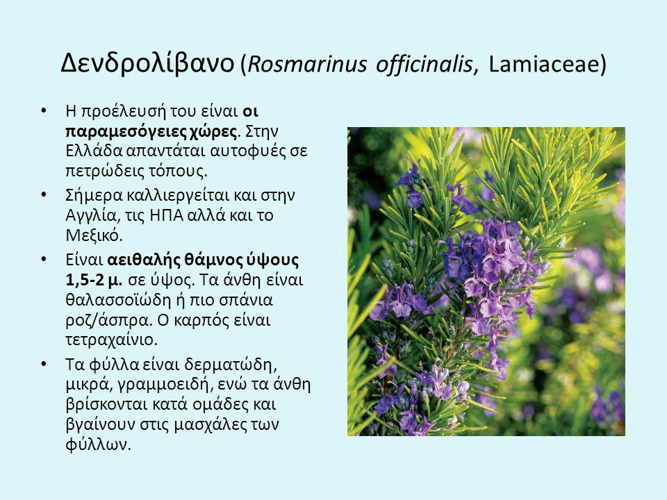 Δενδρολίβανο (Rosmarinus officinalis, Lamiaceae)