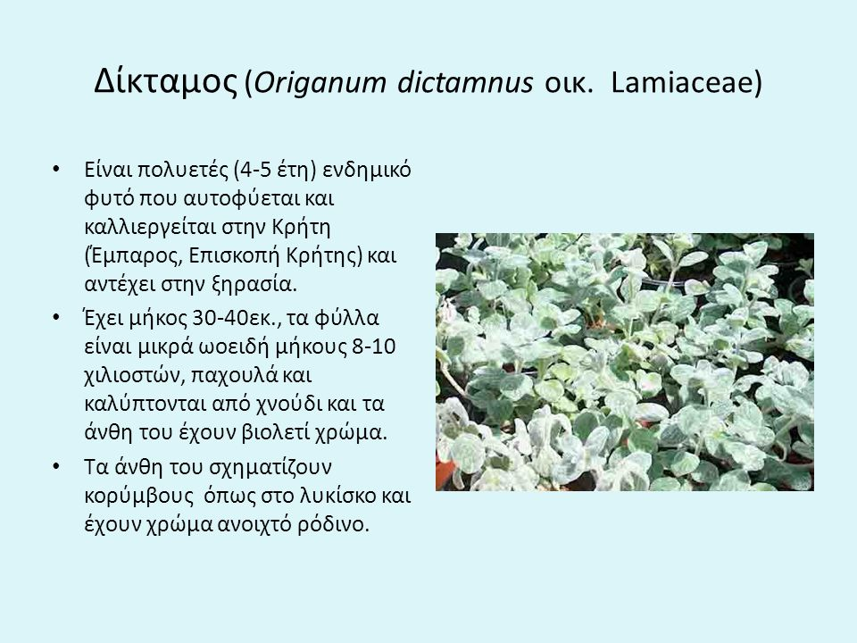 Δίκταμος (Origanum dictamnus οικ. Lamiaceae)