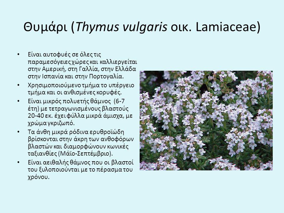 Θυμάρι (Thymus vulgaris οικ. Lamiaceae)