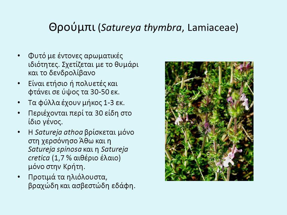 Θρούμπι (Satureya thymbra, Lamiaceae)