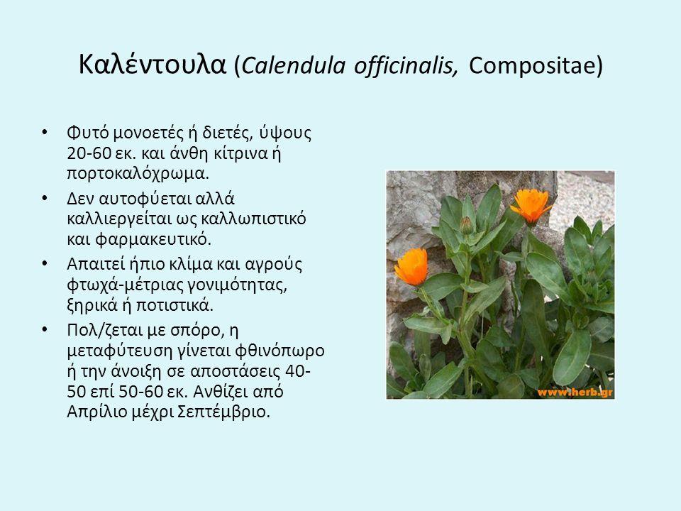 Καλέντουλα (Calendula officinalis, Compositae)