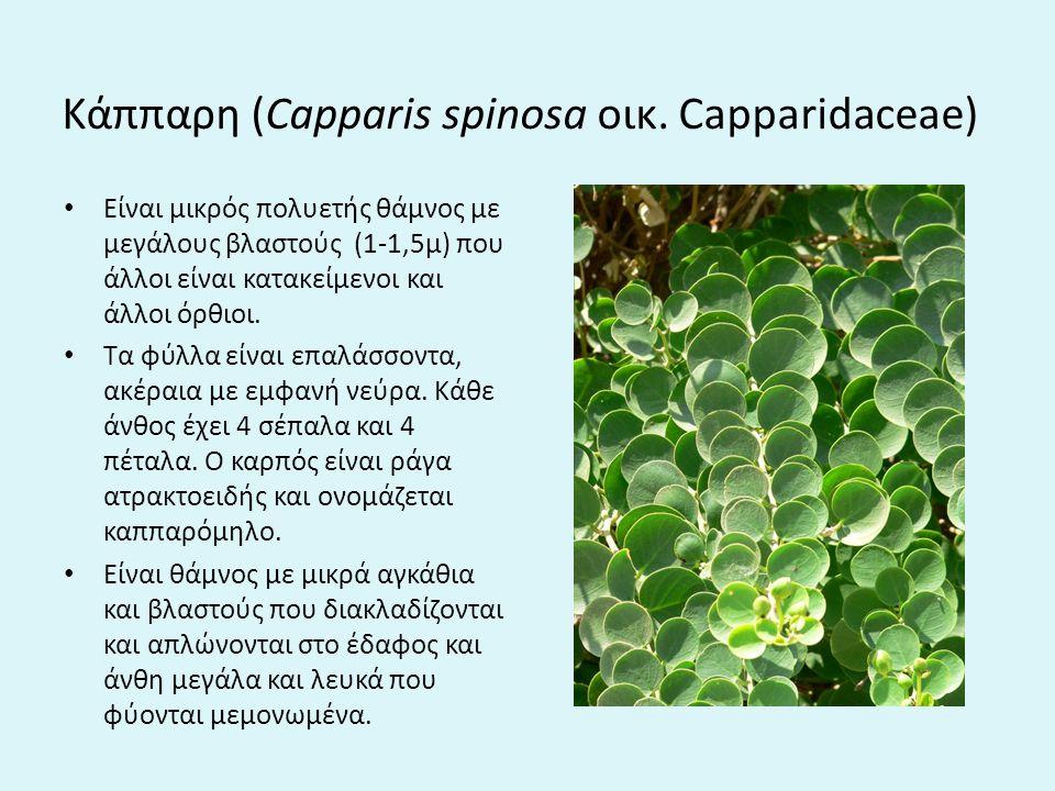 Kάππαρη (Capparis spinosa οικ. Capparidaceae)