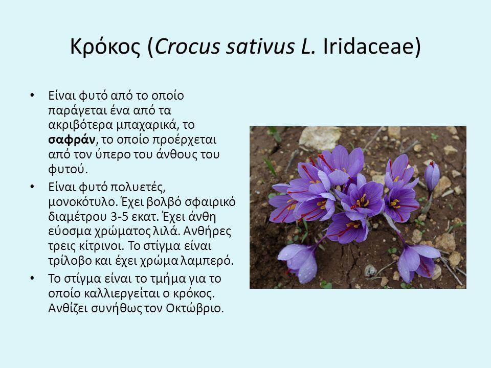 Κρόκος (Crocus sativus L. Iridaceae)