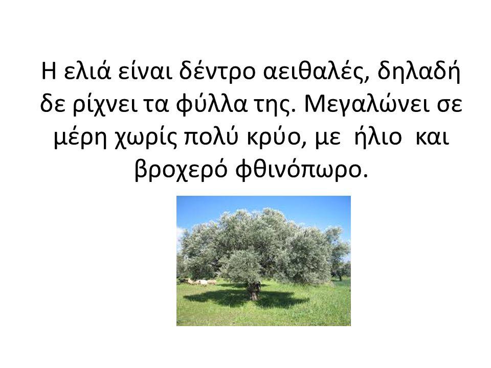 Η ελιά είναι δέντρο αειθαλές, δηλαδή δε ρίχνει τα φύλλα της