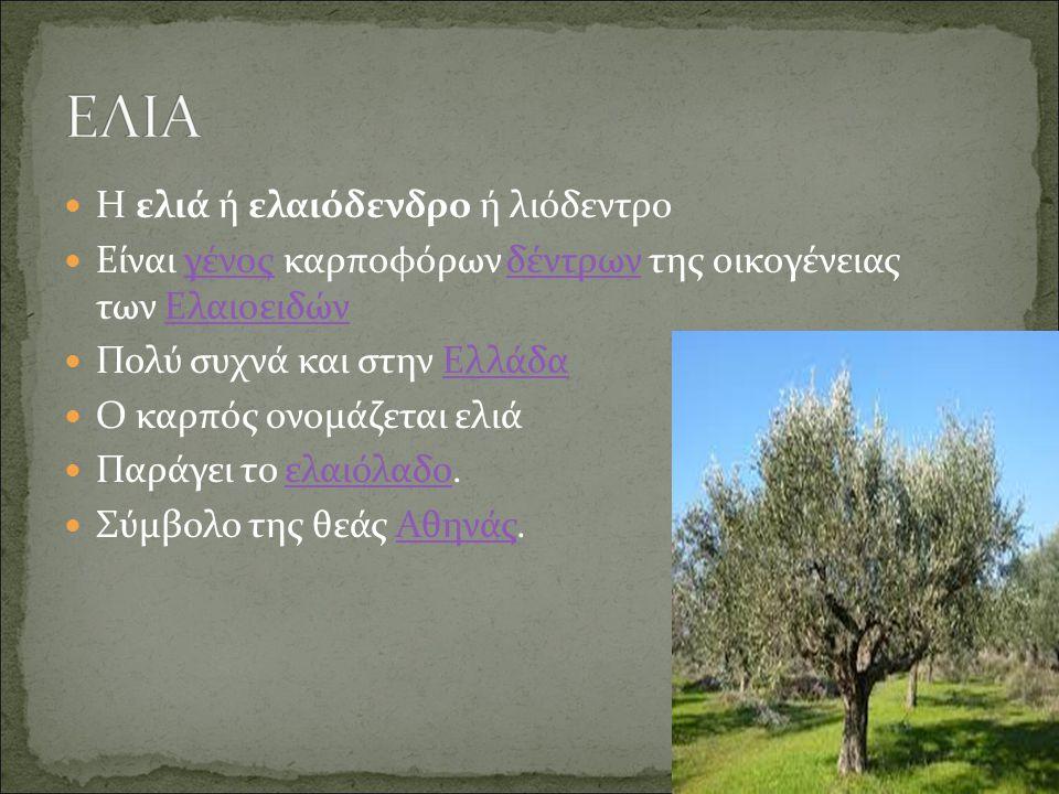 ΕΛΙΑ Η ελιά ή ελαιόδενδρο ή λιόδεντρο