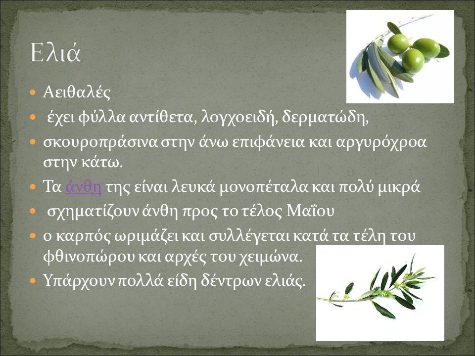 Ελιά Αειθαλές έχει φύλλα αντίθετα, λογχοειδή, δερματώδη,