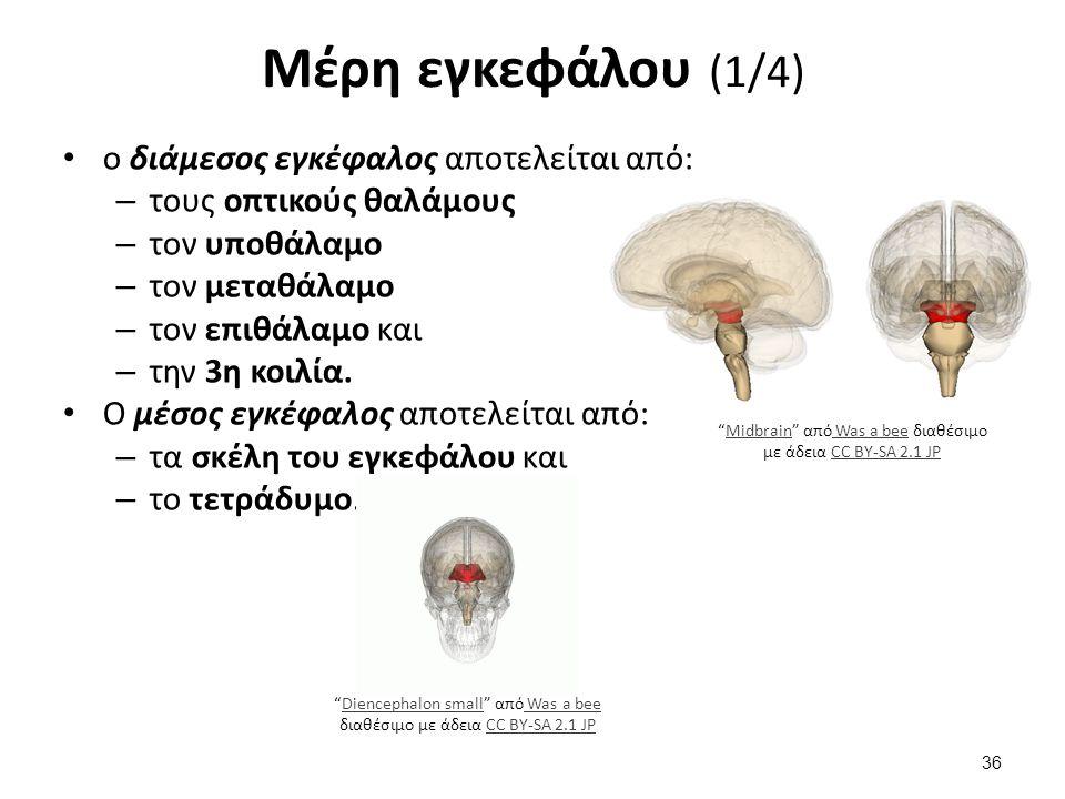 Μέρη εγκεφάλου (2/4) Ο οπίσθιος εγκέφαλος αποτελείται από: