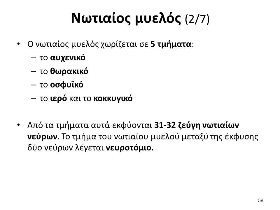 Νωτιαίος μυελός (3/7)