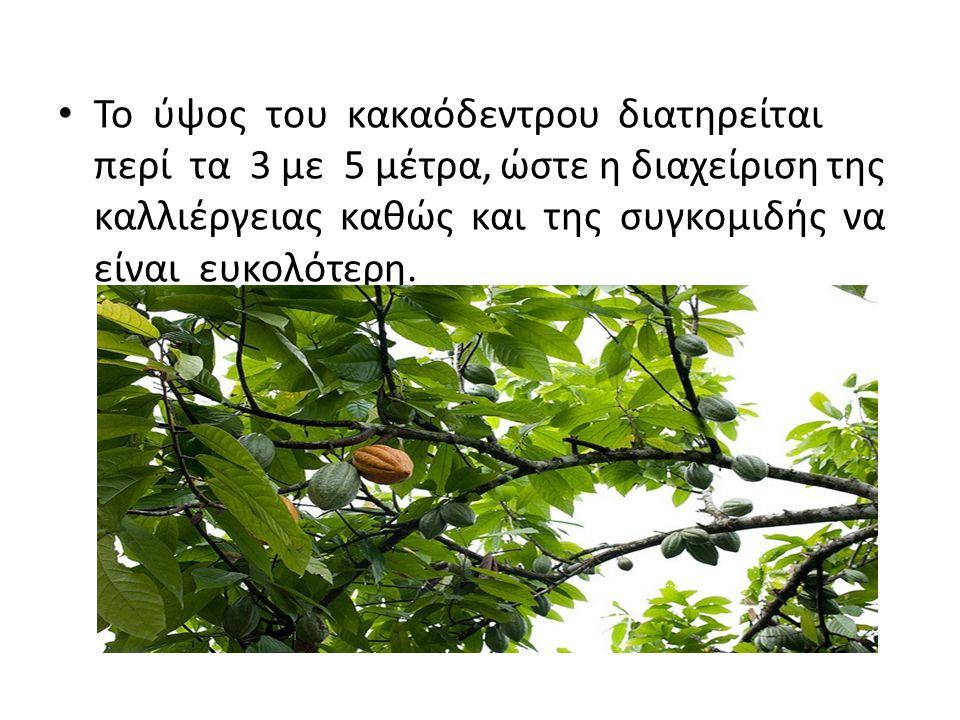 Το ύψος του κακαόδεντρου διατηρείται περί τα 3 με 5 μέτρα, ώστε η διαχείριση της καλλιέργειας καθώς και της συγκομιδής να είναι ευκολότερη.