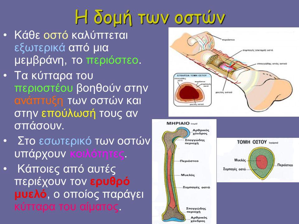 Η δομή των οστών Κάθε οστό καλύπτεται εξωτερικά από μια μεμβράνη, το περιόστεο.