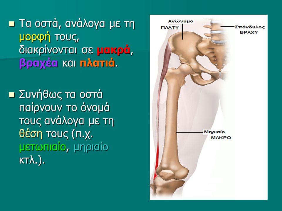 Τα οστά, ανάλογα με τη μορφή τους, διακρίνονται σε μακρά, βραχέα και πλατιά.