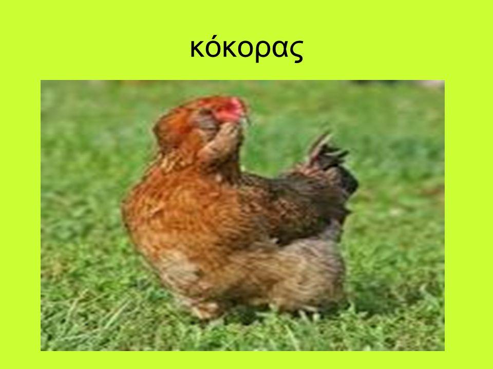 κόκορας