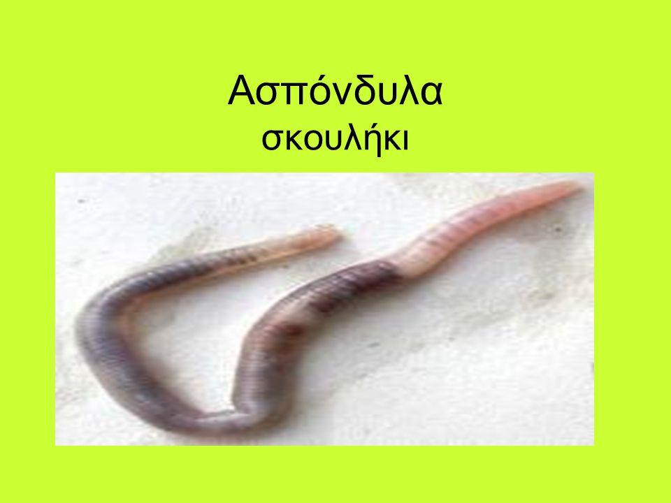 Ασπόνδυλα σκουλήκι