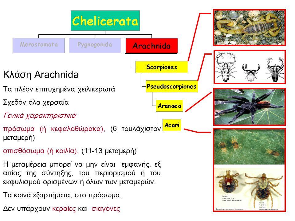 Κλάση Arachnida Τα πλέον επιτυχημένα χειλικερωτά Σχεδόν όλα χερσαία