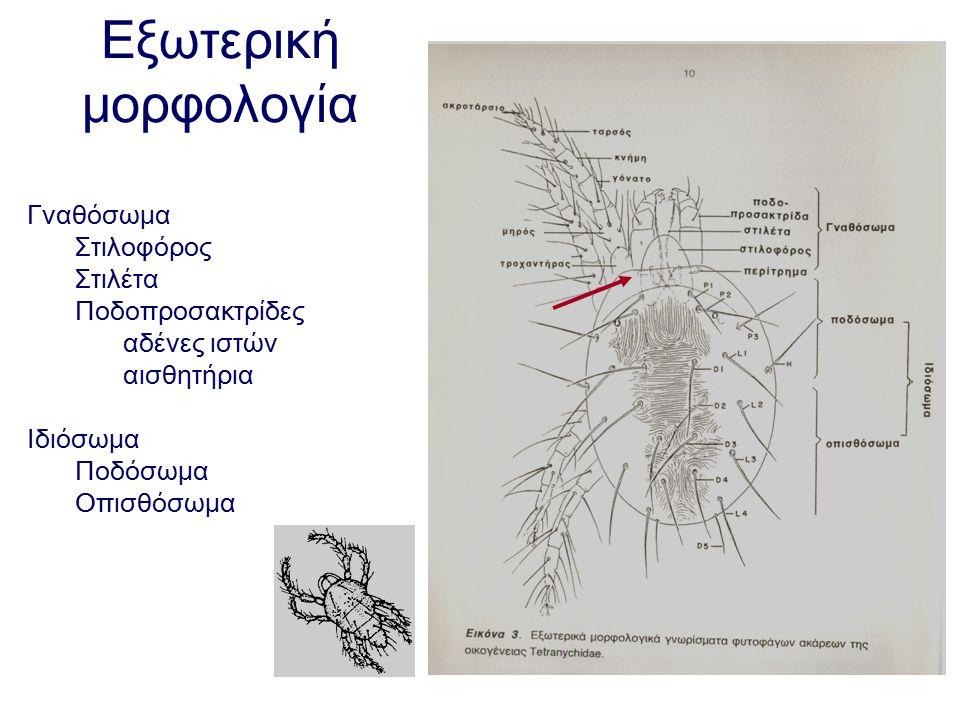 Εξωτερική μορφολογία Γναθόσωμα Στιλοφόρος Στιλέτα Ποδοπροσακτρίδες