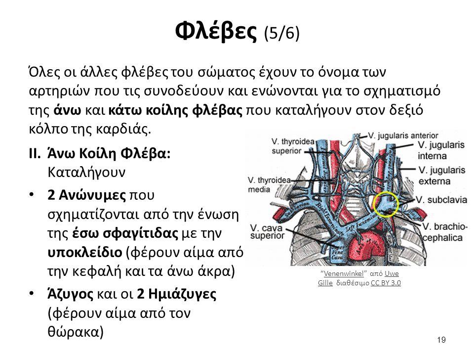 Φλέβες (6/6) Κάτω Κοίλη Φλέβα: Καταλήγουν