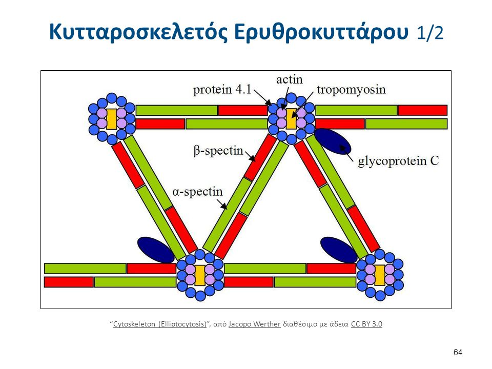 Κυτταροσκελετός Ερυθροκυττάρου 2/2