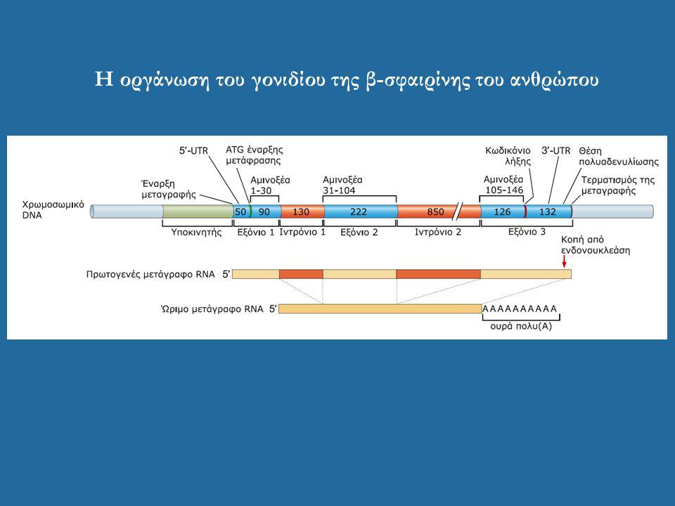 Η οργάνωση του γονιδίου της β-σφαιρίνης του ανθρώπου