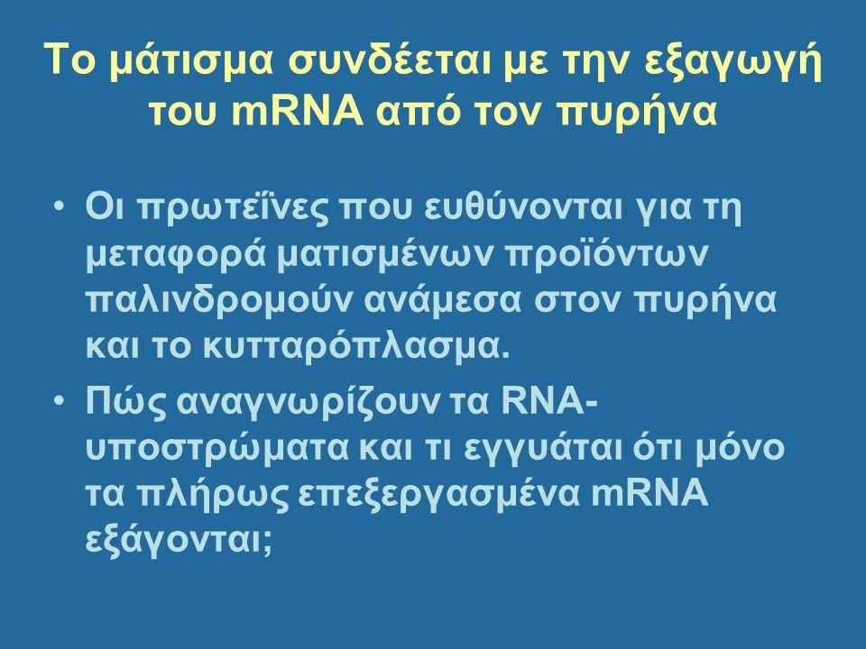 Το μάτισμα συνδέεται με την εξαγωγή του mRNA από τον πυρήνα