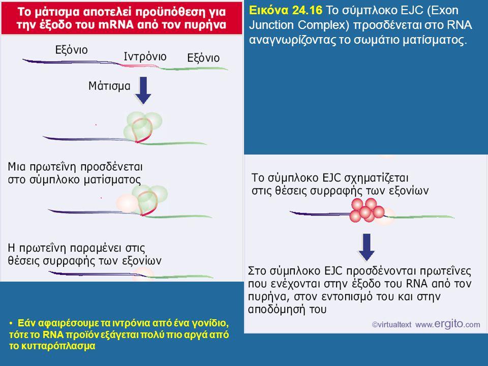 Εικόνα 24.16 Το σύμπλοκο EJC (Exon Junction Complex) προσδένεται στο RNA αναγνωρίζοντας το σωμάτιο ματίσματος.