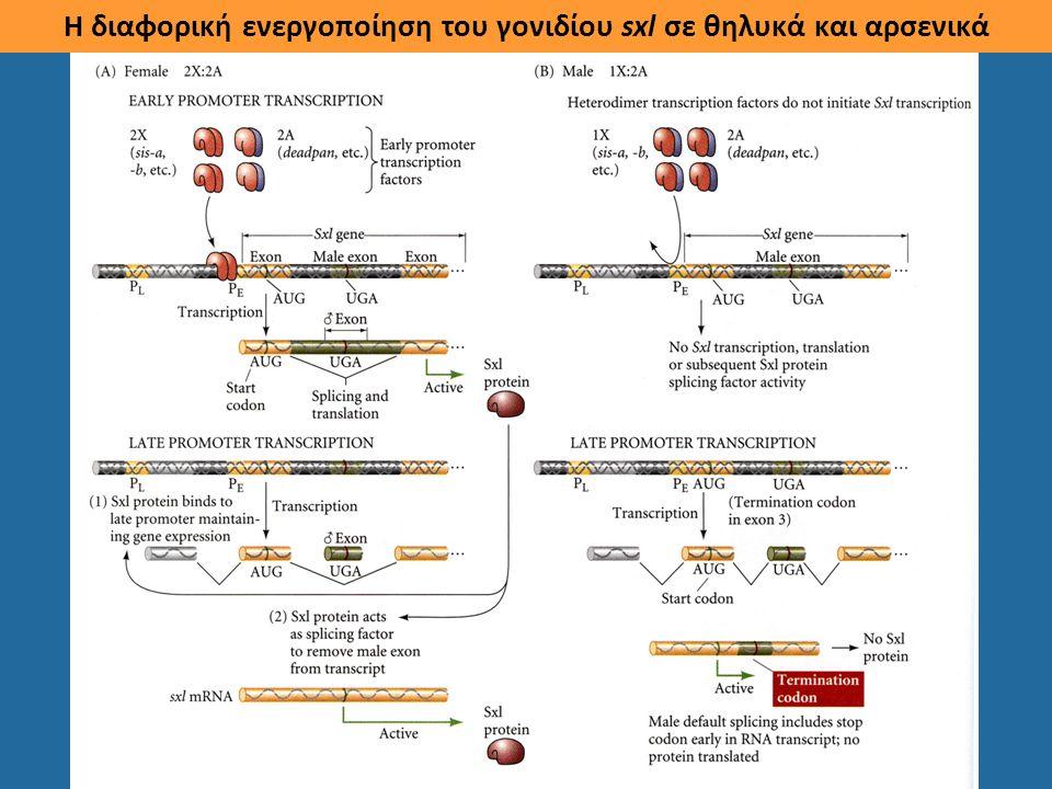 Η διαφορική ενεργοποίηση του γονιδίου sxl σε θηλυκά και αρσενικά