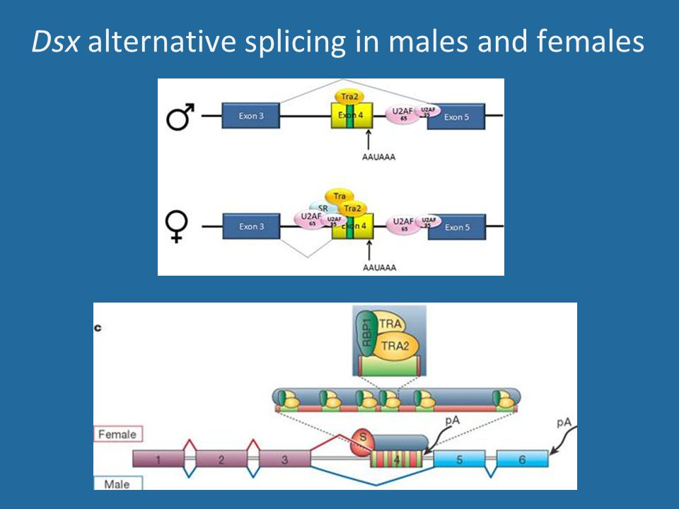 Dsx alternative splicing in males and females