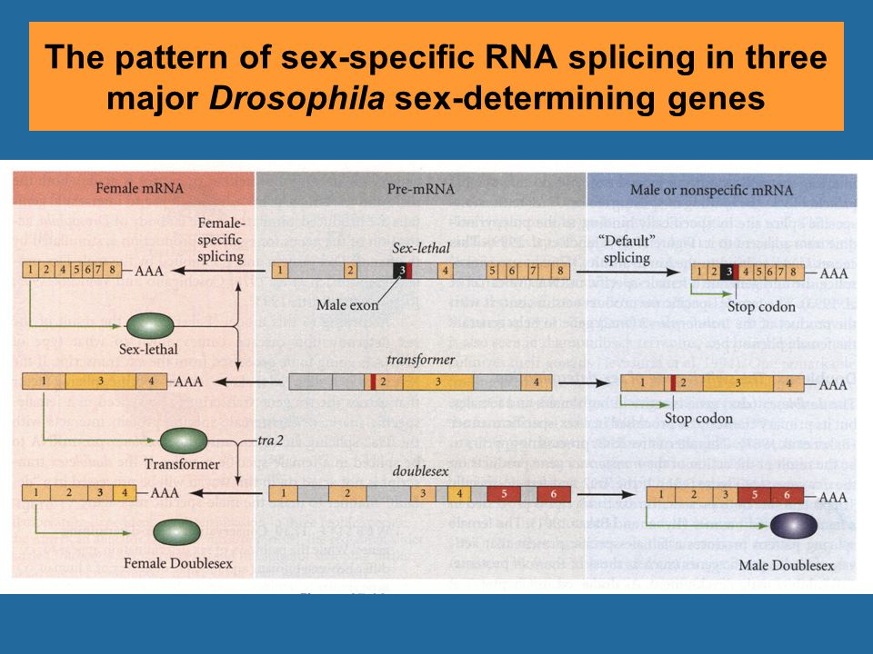 The pattern of sex-specific RNA splicing in three major Drosophila sex-determining genes