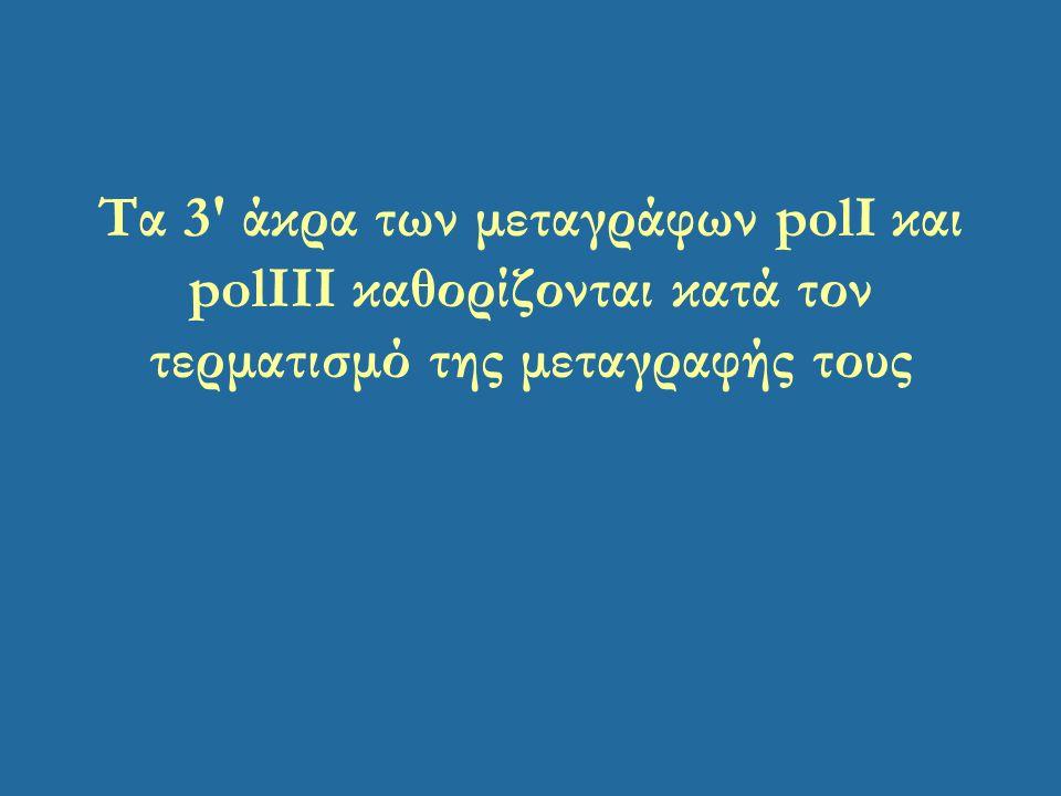 Τα 3 άκρα των μεταγράφων polI και polIΙI καθορίζονται κατά τον τερματισμό της μεταγραφής τους