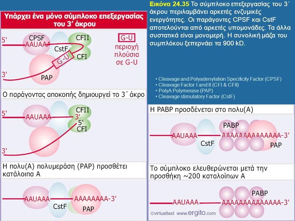 Εικόνα 24.35 Το σύμπλοκο επεξεργασίας του 3΄ άκρου περιλαμβάνει αρκετές ενζυμικές ενεργότητες. Οι παράγοντες CPSF και CstF αποτελούνται από αρκετές υπομονάδες. Τα άλλα συστατικά είναι μονομερή. Η συνολική μάζα του συμπλόκου ξεπερνάει τα 900 kD.