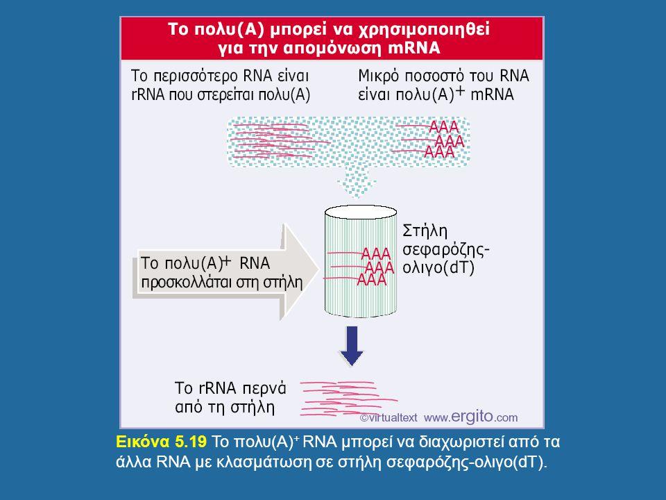 Εικόνα 5.19 Το πολυ(Α)+ RNA μπορεί να διαχωριστεί από τα άλλα RNA με κλασμάτωση σε στήλη σεφαρόζης-ολιγο(dT).