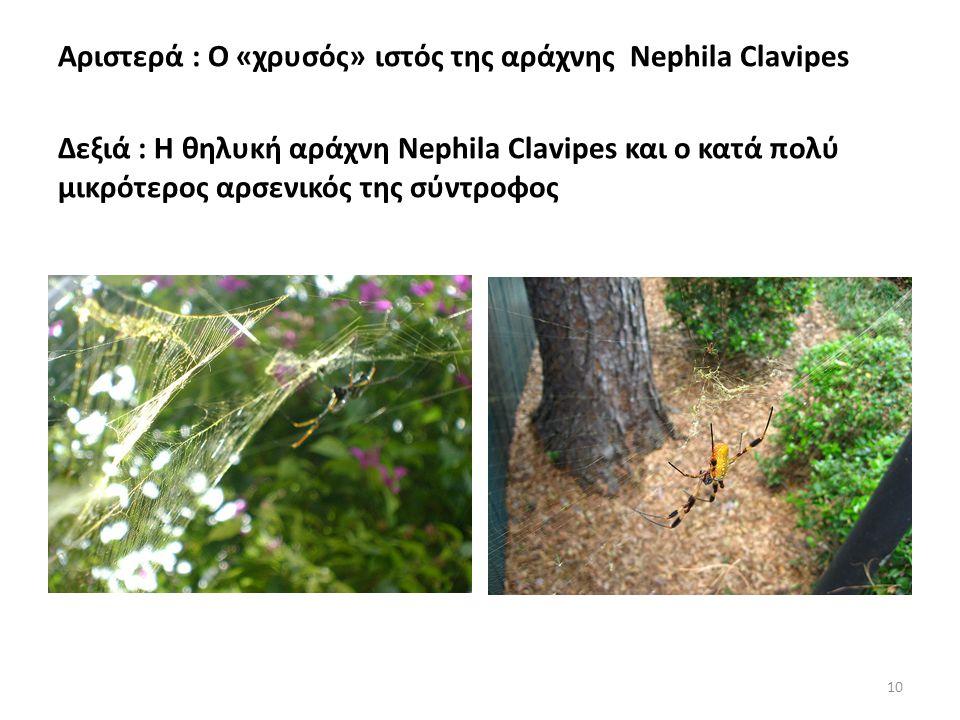 Αριστερά : Ο «χρυσός» ιστός της αράχνης Nephila Clavipes