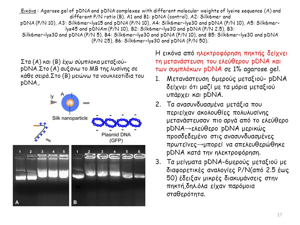 Εικόνα : Agarose gel of pDNA and pDNA complexes with different molecular weights of lysine sequence (A) and different P/N ratio (B). A1 and B1: pDNA (control), A2: Silk6mer and pDNA (P/N 10), A3: Silk6mer-lys15 and pDNA (P/N 10), A4: Silk6mer-lys30 and pDNA (P/N 10), A5: Silk6mer-lys45 and pDNAm (P/N 10), B2: Silk6mer-lys30 and pDNA (P/N 2.5), B3: Silk6mer-lys30 and pDNA (P/N 5), B4: Silk6mer-lys30 and pDNA (P/N 10), and B5: Silk6mer-lys30 and pDNA (P/N 25), B6: Silk6mer-lys30 and pDNA (P/N 50).