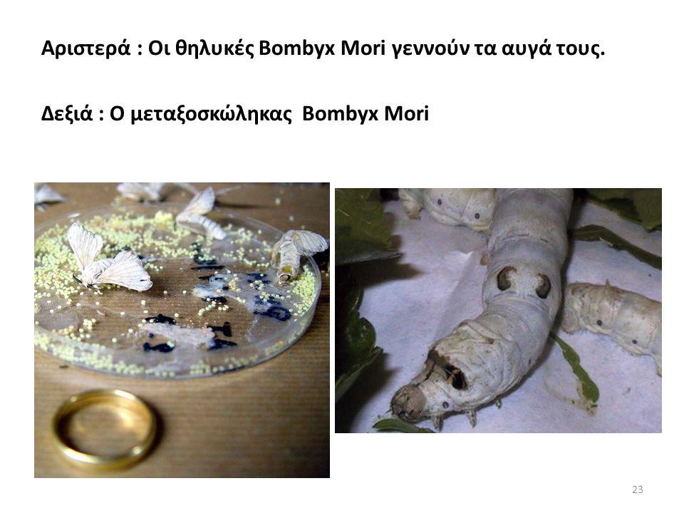 Αριστερά : Οι θηλυκές Bombyx Mori γεννούν τα αυγά τους.