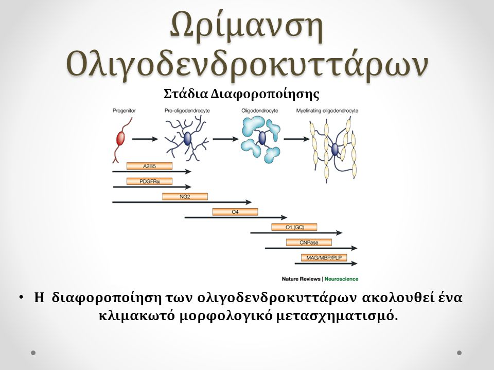 Ωρίμανση Ολιγοδενδροκυττάρων